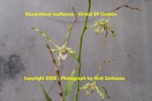 Dendrobium laxiflorum