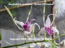 Dendrobium stratiotes