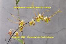 Dendrobium sutiknoii