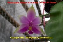 Phalaenopsis violacea 'sumatra'